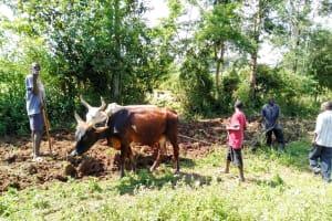 The Water Project: Sambuli Community, Nechesa Spring -  Plowing A Farm