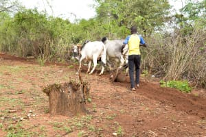 The Water Project: Kathamba Ngii Community -  A Man Plowing The Field Nearby