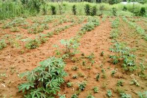 The Water Project: Musango Community, Emufutu Spring -  Cassava Farm