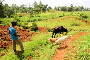 The Water Project: Shisere Community, Francis Atema Spring -  Boy Walking His Dogs