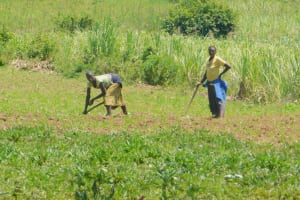 The Water Project: Ataku Community, Ngache Spring -  Farming