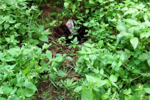 The Water Project: Shihungu Community, Shihungu Spring -  An Overgrown Latrine