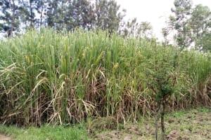 The Water Project: Burachu B Community, Namukhuvichi Spring -  Sugarcane Farm