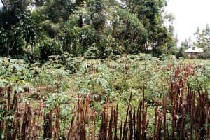 The Water Project: Burachu B Community, Namukhuvichi Spring -  Cassava
