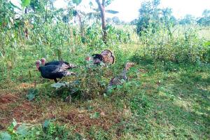 The Water Project: Mutao Community, Shimenga Spring -  Wild Turkeys