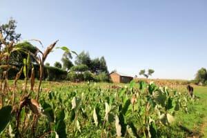 The Water Project: Imbinga Community, Arunga Spring -  Arrowroot