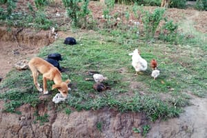 The Water Project: Shihungu Community, Shihungu Spring -  Community Animals
