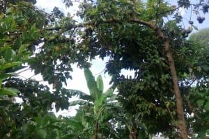 The Water Project: Shisere Community, Richard Okanga Spring -  Full Avocado Tree