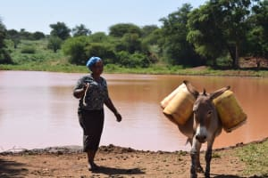 The Water Project: Kathuli Community -  Donkey Carries Water Home