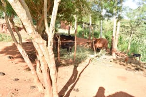 The Water Project: Utuneni Community B -  Cattle