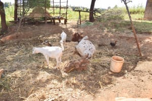 The Water Project: Kala Community B -  Cows