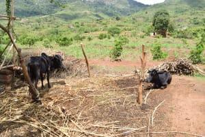 The Water Project: Mbiuni Community -  Livestock