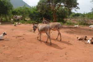 The Water Project: Katovya Community -  Livestock