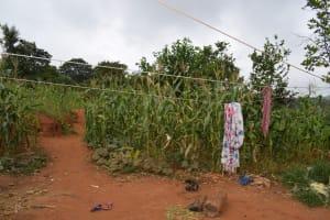 The Water Project: Kathungutu Community A -  Maize Growing