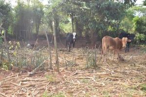 The Water Project: Utuneni Community C -  Livestock