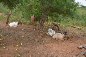 The Water Project: Katovya Community A -  Livestock