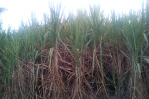 The Water Project: Shihingo Community, Inzuka Spring -  Sugarcane