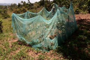 The Water Project: Kitulu Community, Kiduve Spring -  Garden Fenced With Mosquito Net