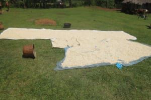 The Water Project: Bung'onye Community, Shilangu Spring -  Maize Drying