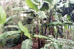 The Water Project: Buhayi Community, Nasichundukha Spring -  Banana Trees