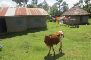 The Water Project: Bung'onye Community, Shilangu Spring -  Cow Grazing At Household