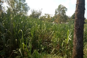The Water Project: Lutonyi Community, Lutomia Spring -  Sugarcane