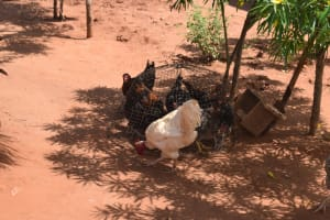 The Water Project: Maluvyu Community G -  Chickens
