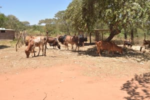 The Water Project: Kaukuswi Community A -  Cattle