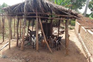 The Water Project: Kimigi Kyamatama Community -  Livestock Pen