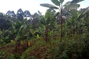 The Water Project: Kisasi Community, Edward Sabwa Spring -  Banana Farm