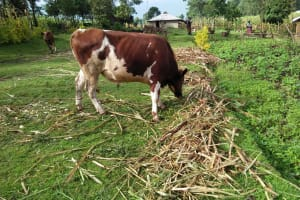 The Water Project: Sasala Community, Kasit Spring -  Cow Grazing