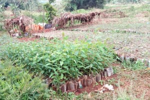 The Water Project: Chepnonochi Community, Shikati Spring -  Tree Sapling Farm