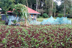 The Water Project: Shivembe Community, Murumbi Spring -  Farm Fenced With Mosquito Nets