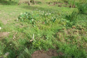 The Water Project: Sasala Community, Kasit Spring -  Arrowroot Growing By The Spring