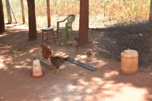 The Water Project: Ngitini Community D -  Chickens In Compound