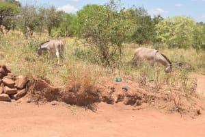 The Water Project: Kathonzweni Community A -  Donkeys Grazing