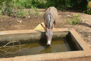The Water Project: Wamwathi Community A -  Donkey Drinks At Rock Catchment