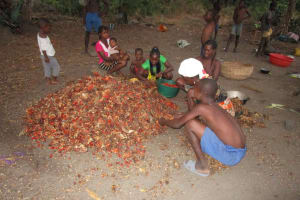 The Water Project: Lokomasama, Bompa, DEC Bompa Primary School -  Children Pick Palm Kernel