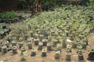 The Water Project: Lungi, 25 Maylie Lane -  Tree Nursery