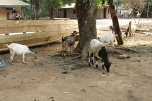 The Water Project: Kamayea, Susu Community & Church -  Livestock