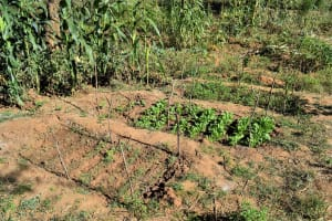 The Water Project: Katung'uli Community B -  Successful Crops Enabled By The Dam And Well