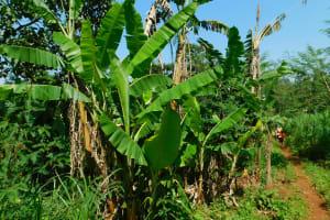 The Water Project: Ewamakhumbi Community, Mukungu Spring -  Banana Plantation