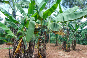 The Water Project: Munenga Community, Francis Were Spring -  Banana Farming