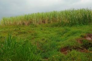 The Water Project: Namarambi Community, Iddi Spring -  Sugarcane Farm