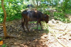 The Water Project: Ewamakhumbi Community, Mukungu Spring -  Cows Grazing
