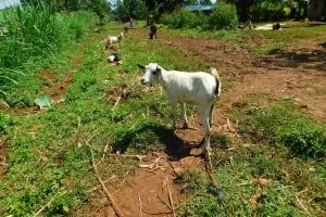 The Water Project: Ewamakhumbi Community, Mukungu Spring -  Goats Grazing