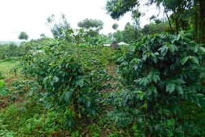 The Water Project: Kapkures Primary School -  Area Coffee Trees