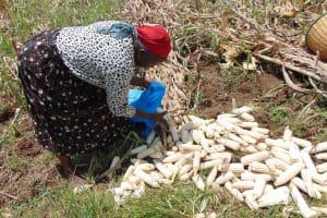 The Water Project: Bukhaywa Community, Shidero Spring -  Beatrice Harvesting Maize