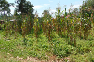 The Water Project: Munenga Community, Francis Were Spring -  Maize Plantation