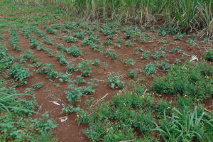 The Water Project: Namarambi Community, Iddi Spring -  Traditional Vegetables
